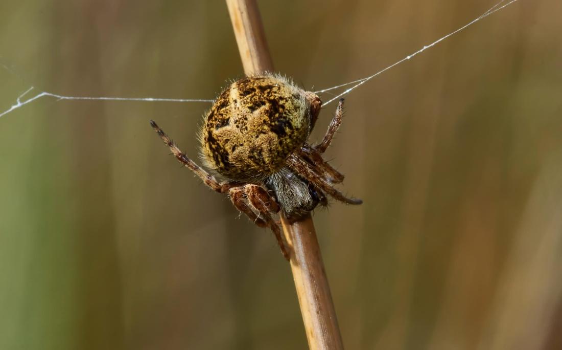 spider, insect, nature, arthropod, invertebrate, animal, cobweb
