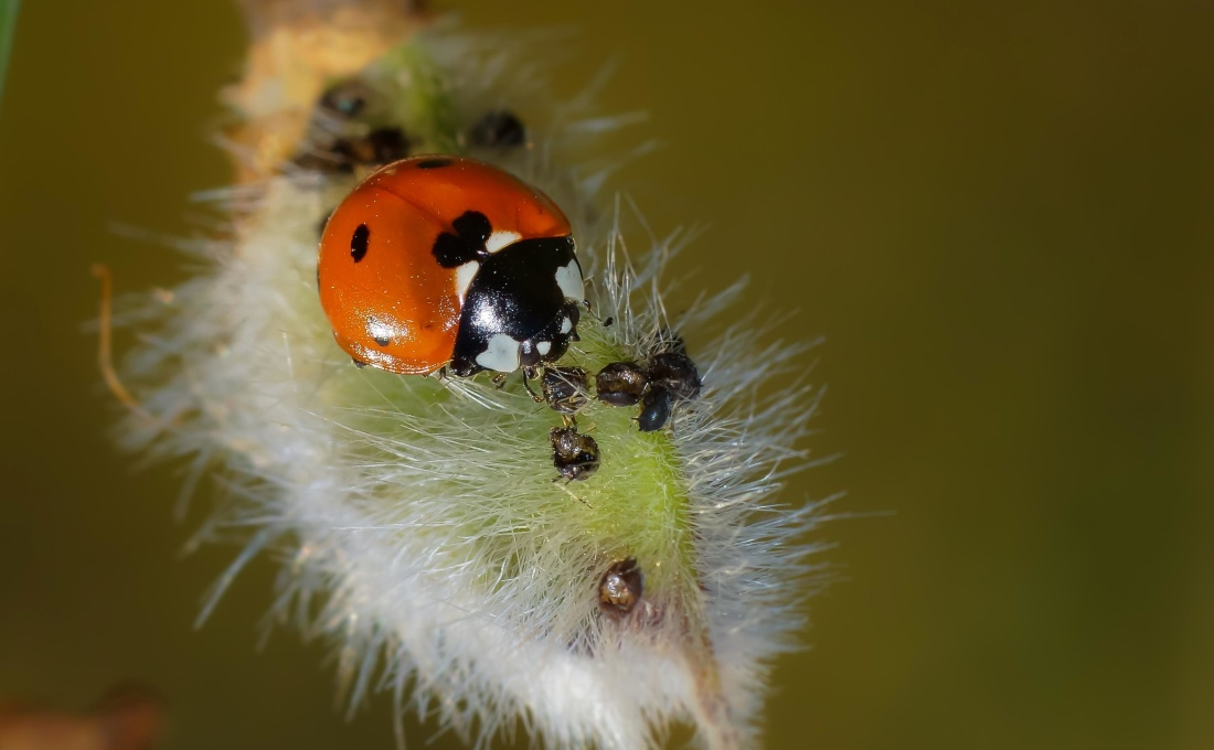 insect, nature, wildlife, macro, beetle, ladybug, arthropod, invertebrate