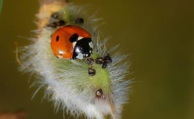 insecto, naturaleza, fauna, macro, escarabajo, Mariquita, artrópodos, invertebrados