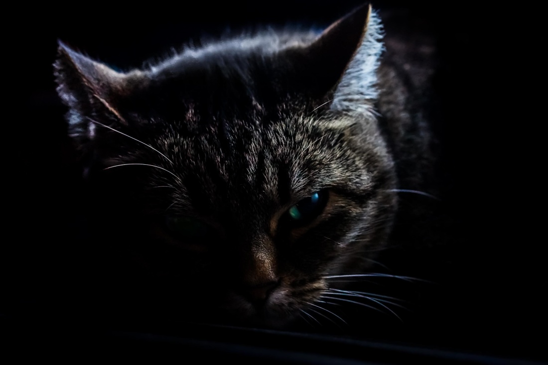 cat, kitten, pet, portrait, dark, animal, eye, cute, feline, kitty, fur