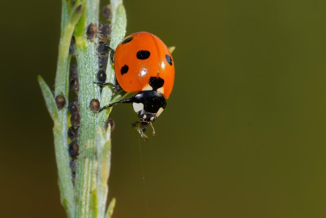 insect, nature, macro, ladybug, beetle, arthropod, invertebrate