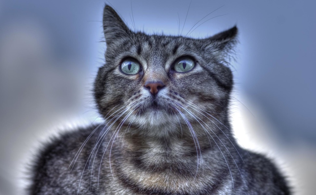 pet, cat, animal, cute, kitten, portrait, fur, feline, kitty