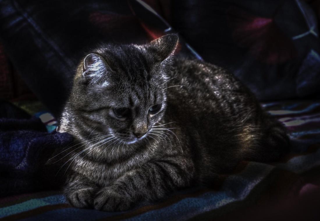 gatto, ritratto, animale, gattino, felino, animale, gattino, baffi carina, pelliccia,