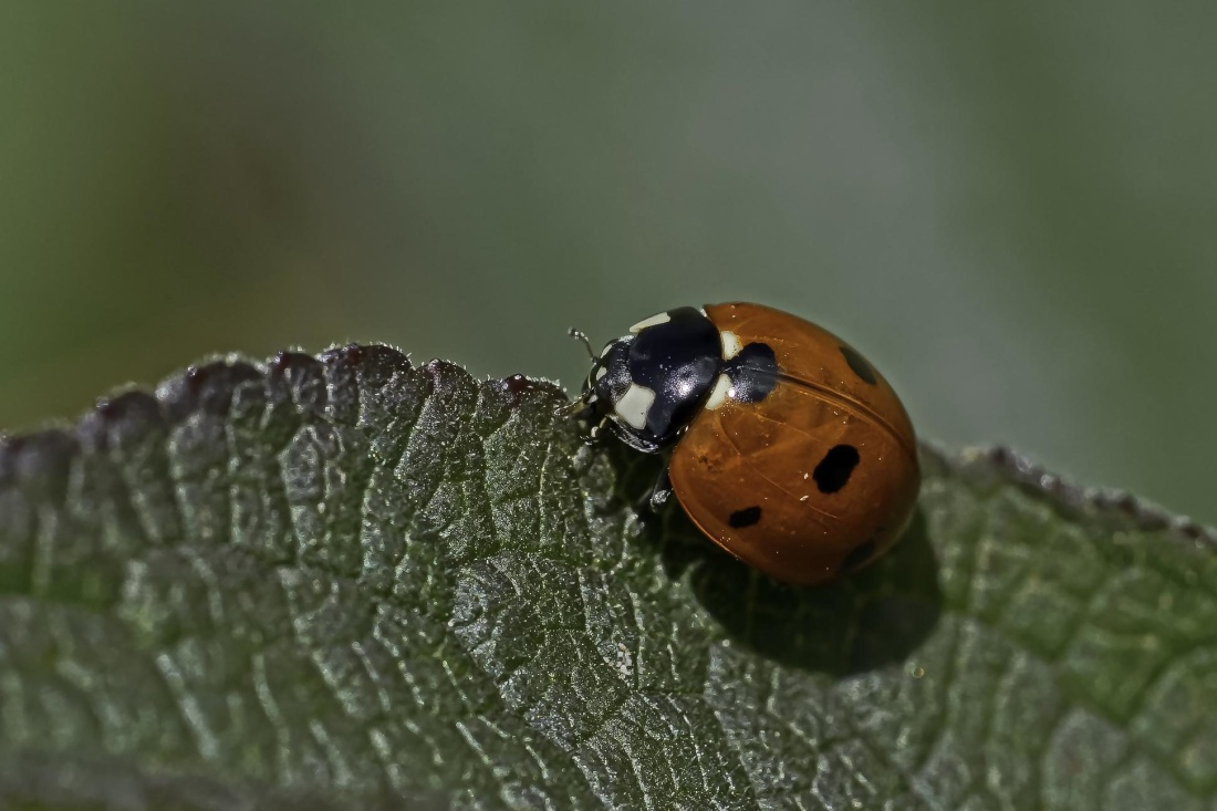 insect, nature, leaf, wildlife, ladybug, beetle, arthropod, invertebrate