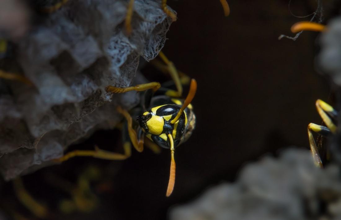 invertebrate, insect, wildlife, wasp, macro, hornet, arthropod