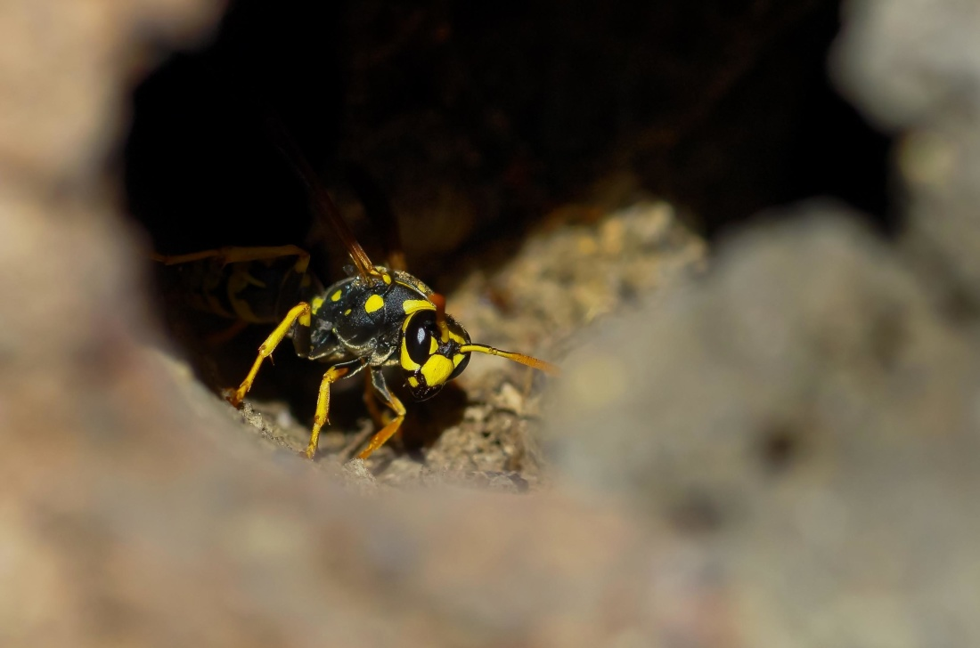 insect, invertebrate, nature, wildlife, wasp