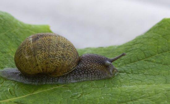 snail, gastropod, slug, invertebrate, shellfish, nature, garden