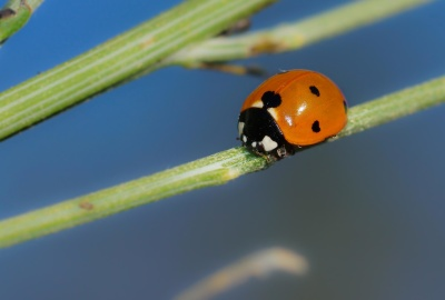ladybug, insect, macro, dew, beetle, biology, arthropod, invertebrate