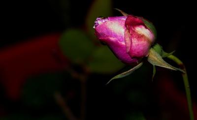 flower, rose, nature, leaf, flora, garden, petal