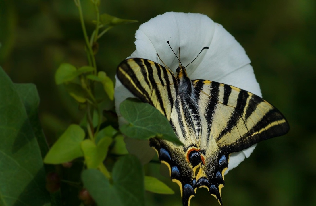 nature, butterfly, insect, macro, detail, flower