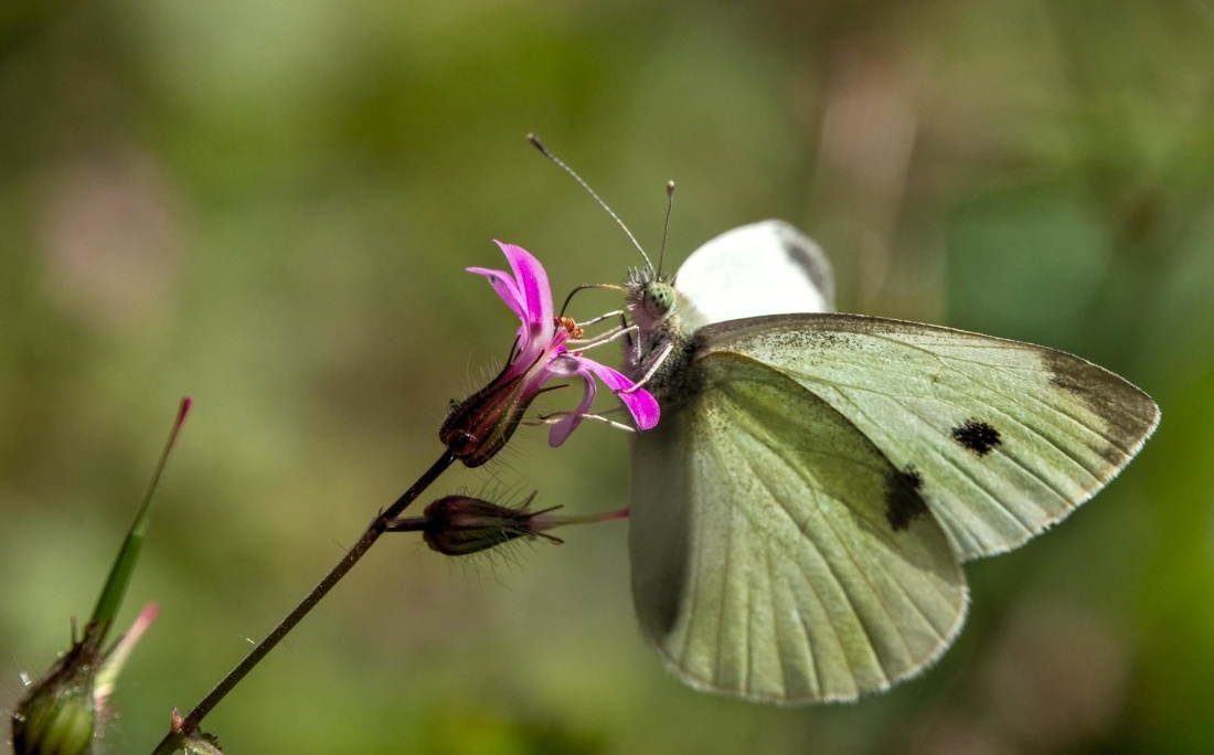 butterfly, insect, nature, invertebrate