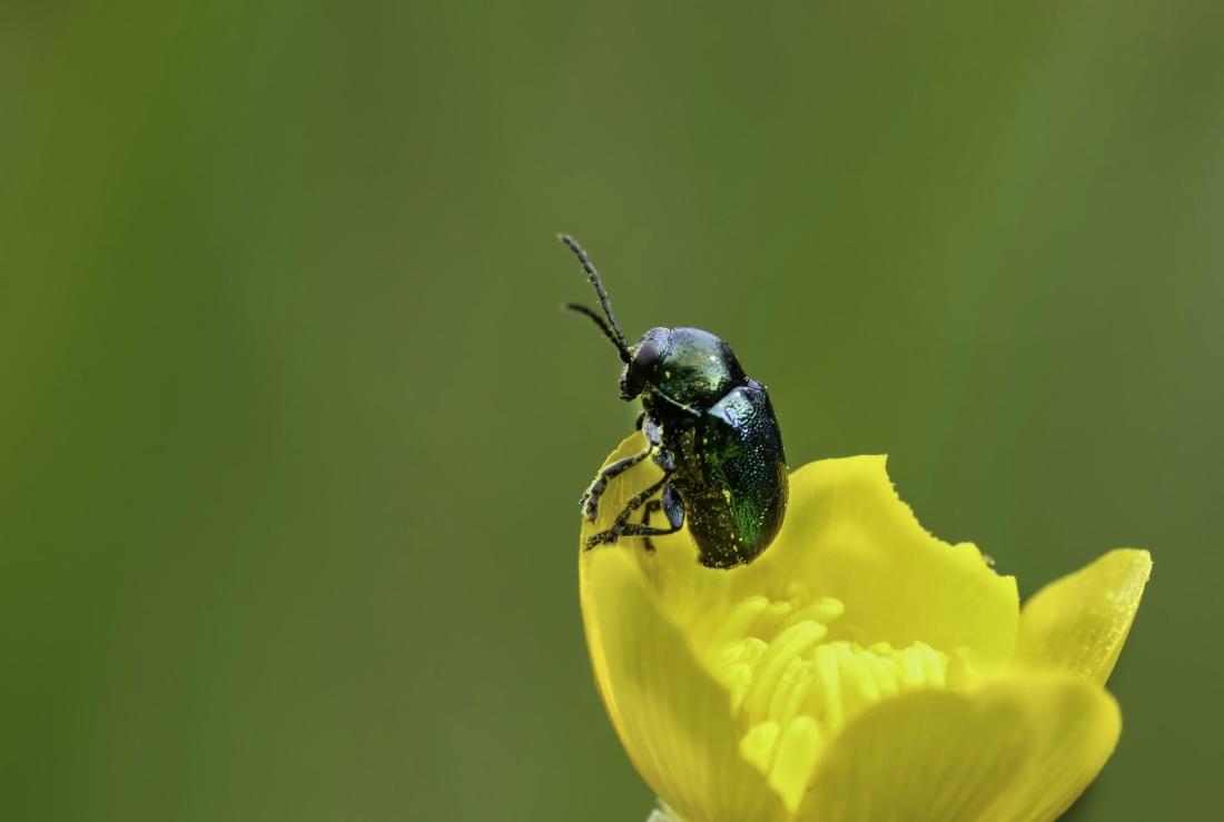 nature, beetle, insect, arthropod