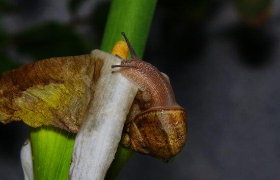 snail, invertebrate, gastropod, macro, fauna, animal, detail, insect, nature, slug