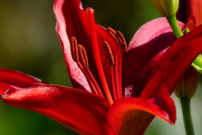 flower, nature, flora, lily, garden, pistil, pollen, red, petal