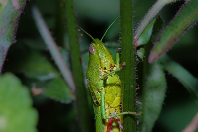insect, nature, leaf, invertebrate, wildlife, flora, grasshopper