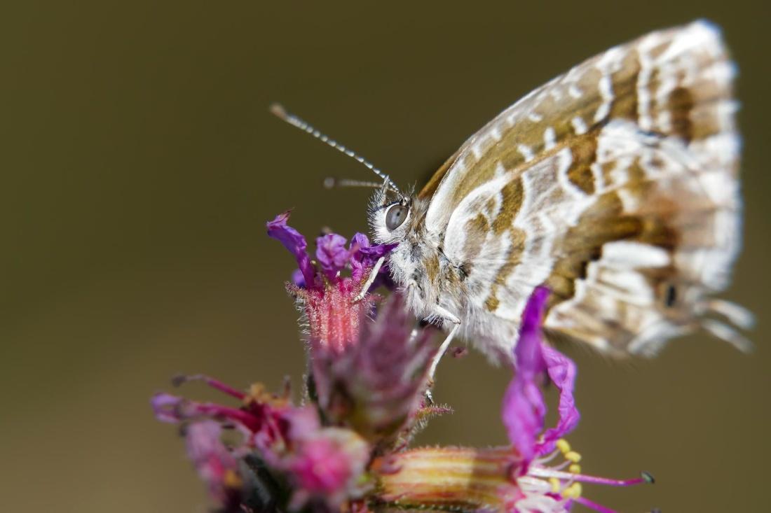 蝶、昆虫、自然、動物、花、野生動物、マクロ、詳細