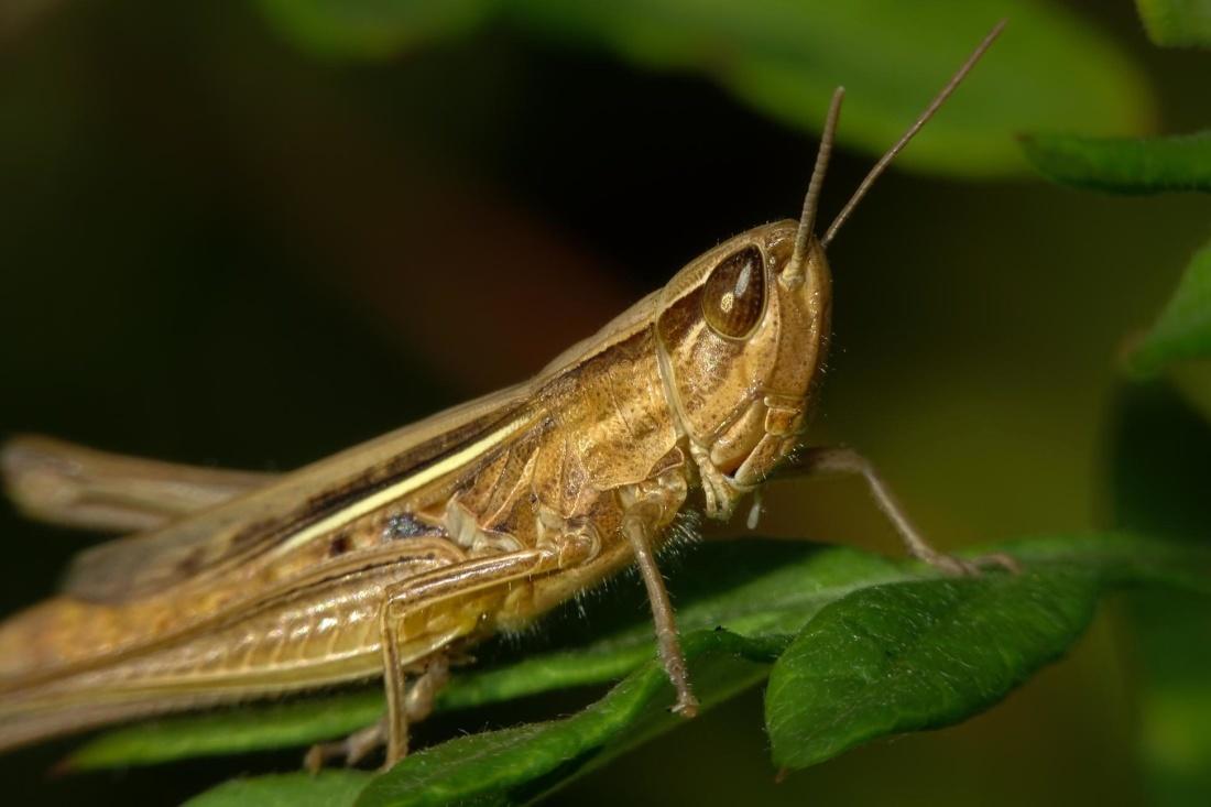 insect, invertebrate, nature, macro, grasshopper, arthropod