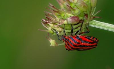 buba, makronaredbe, detalj, insekata, priroda, list