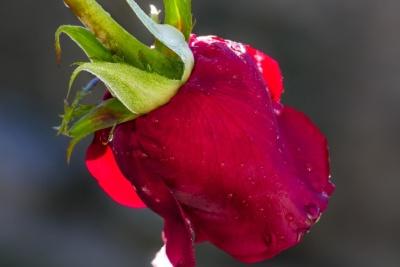 nature, flower, leaf, flora, rose, petal, dew, rain, hip, moisture