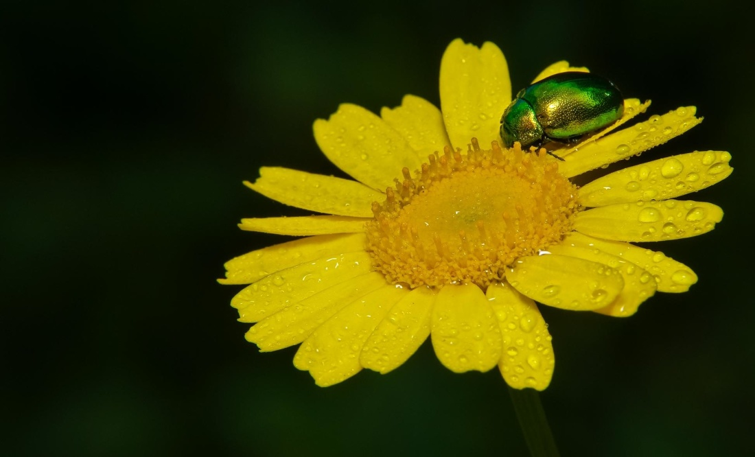 nature, flora, insect, dew, macro, flower, leaf, beetle, herb, yellow