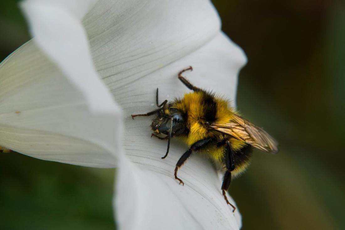 insect, bee, nature, honey, arthropod, macro, petal
