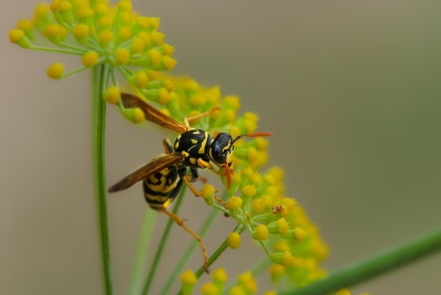 insect, nature, arthropod, wasp, macro, hornet