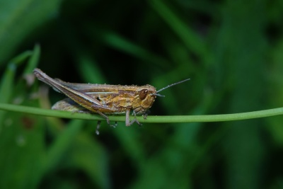 insect, nature, arthropod, grasshopper, macro, dew, detail