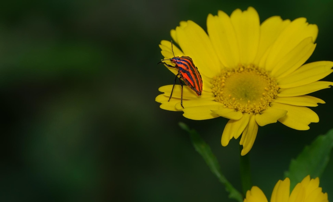 nature, flower, summer, flora, leaf, beetle, insect, yellow
