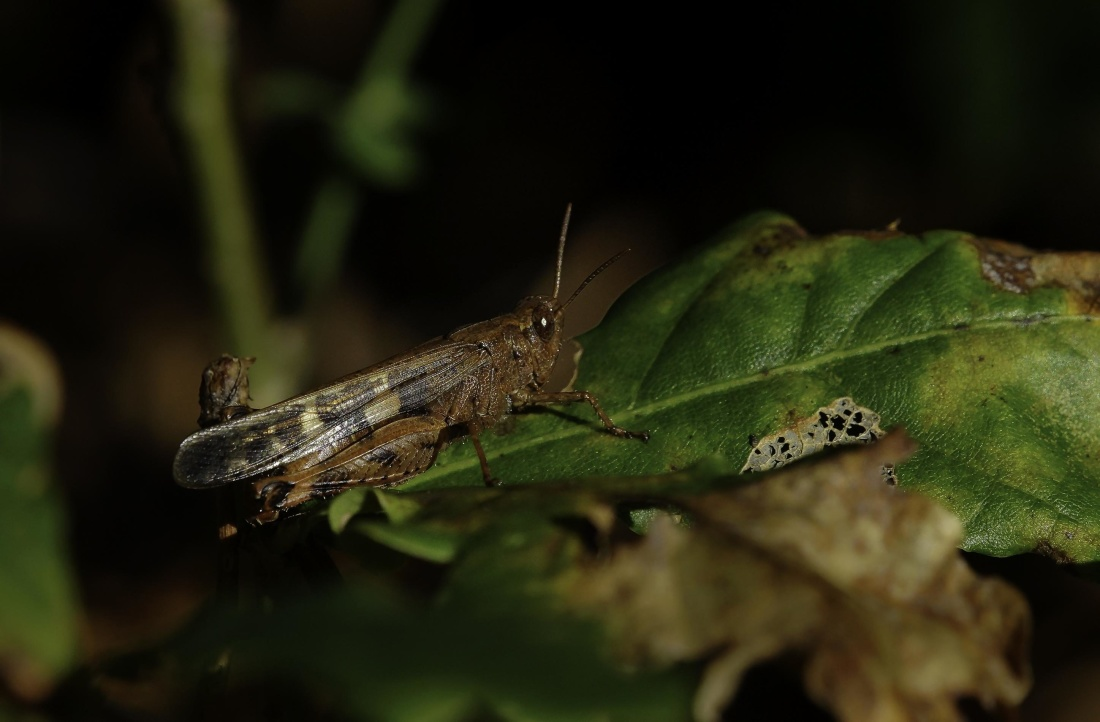 insect, invertebrate, nature, wildlife, grasshopper, macro, leaf, animal