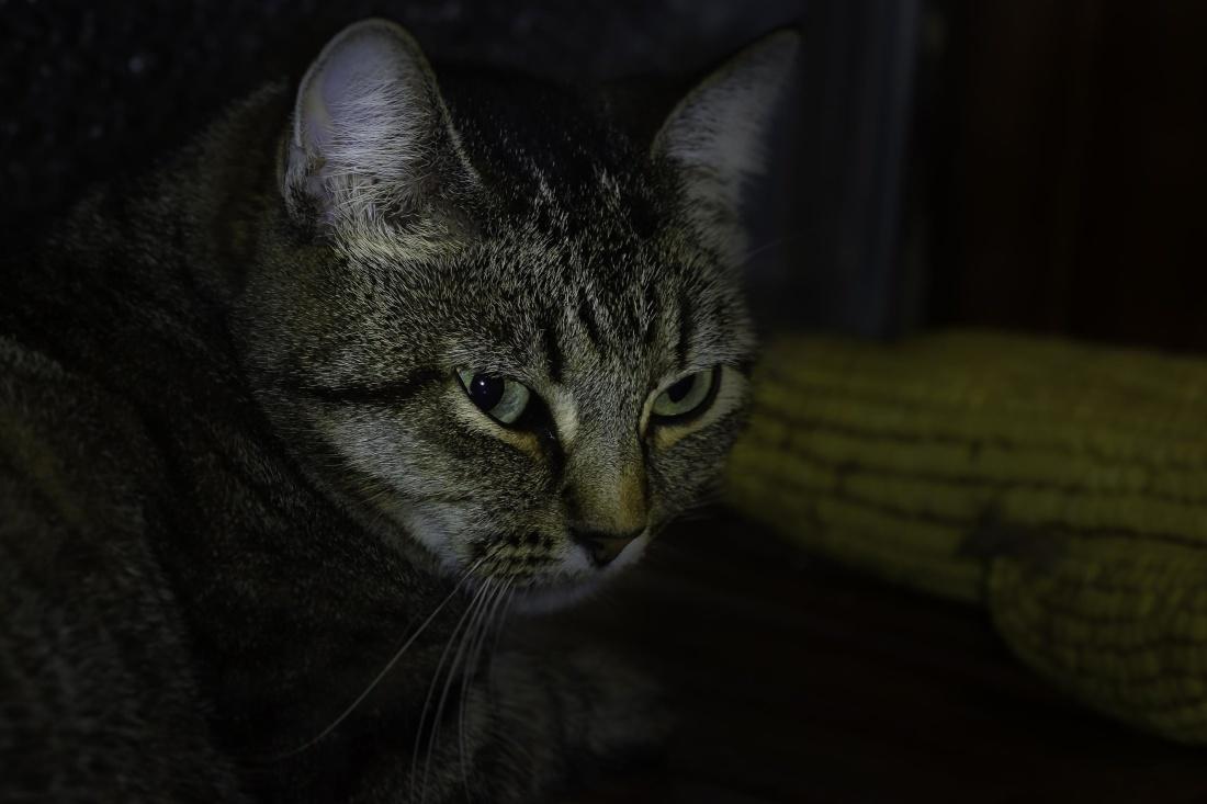 kat, portræt, pet, katte, dyr, killing, pels, kitty, sød, whiskers