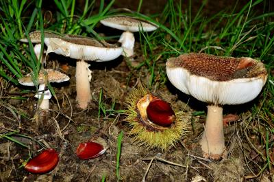 fungus, mushroom, nature, seed, poison, macro, toxic, wild, herb, spore