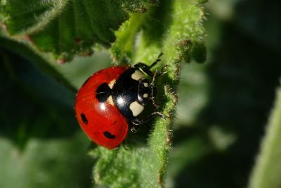 insect, nature, beetle, ladybug, arthropod, invertebrate