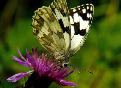 butterfly, insect, nature, wildlife, summer, flower, zoology