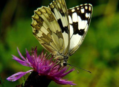 mariposa, insecto, naturaleza, vida silvestre, verano, flor, Zoología