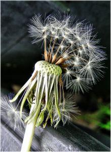 nature, flora, flower, dandelion, macro, seed, leaf, plant