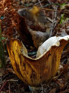 Natur, Holz, Pilz, Pilz, Blatt, Flora, Organismus