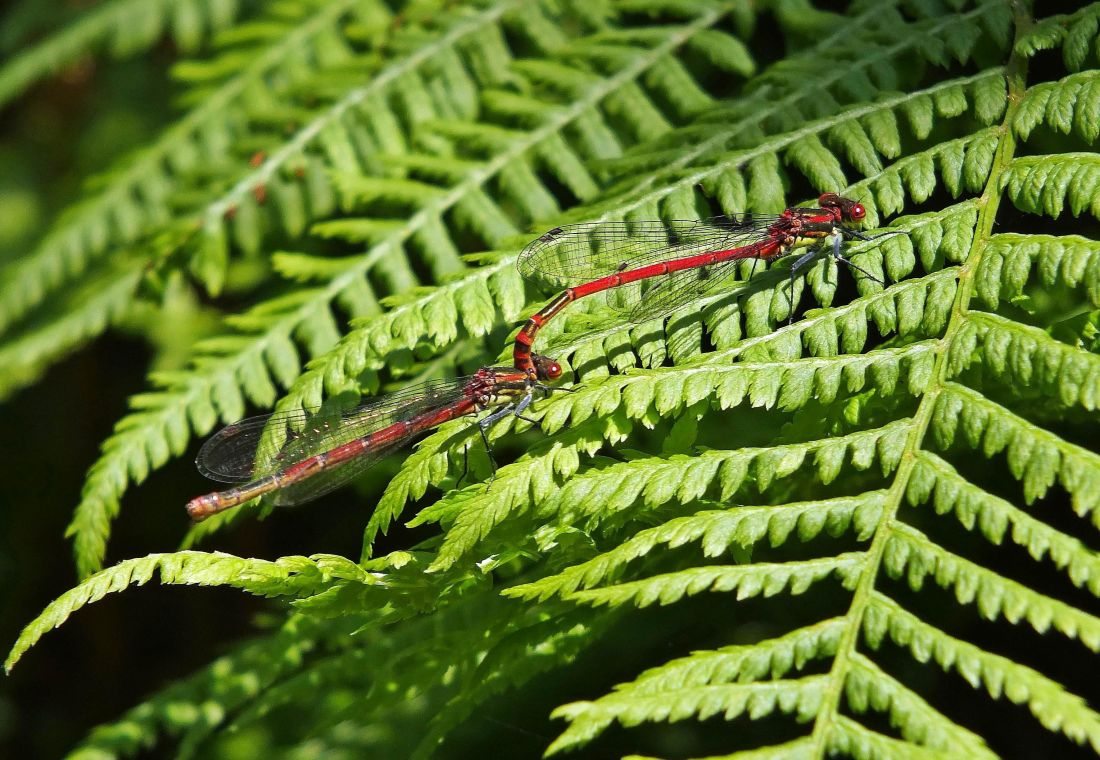 dragonfly, macro, leaf, fern, flora, nature, garden, wood, plant