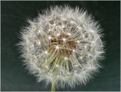dandelion, seed, flower, flora, macro, herb, summer