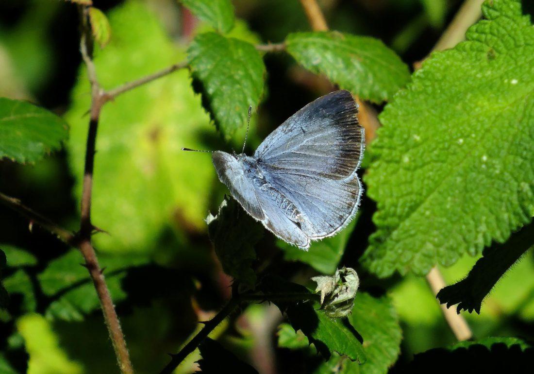 πεταλούδα, φύση, έντομα, φύλλα, άγριας ζωής, καλοκαίρι, ασπόνδυλα