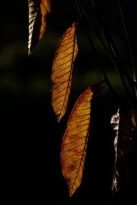 hoja, naturaleza, flora, árbol, noche, oscurezca