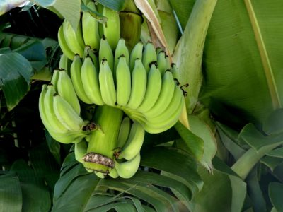 banana, fruit, food, plant, vegetable, green, organic