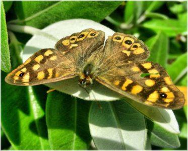 papillon, nature, insecte, faune, animaux, jardin, papillon