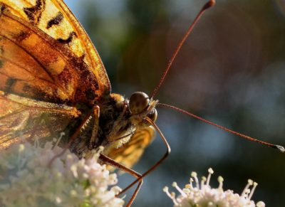 insect, nature, butterfly, animal, invertebrate, wildlife, beetle