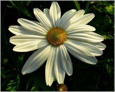 Blume, Natur, Flora, Sommer, Garten, Daisy, Blüte, Blütenblatt, Pflanze