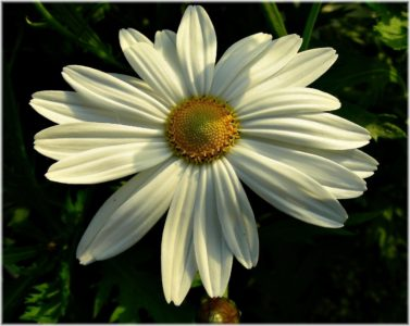 flower, nature, flora, summer, garden, daisy, blossom, petal, plant