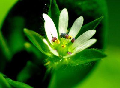 Natura, liść, kwiat, ogród, flora, herb, makro, zielony, słupek, pyłek