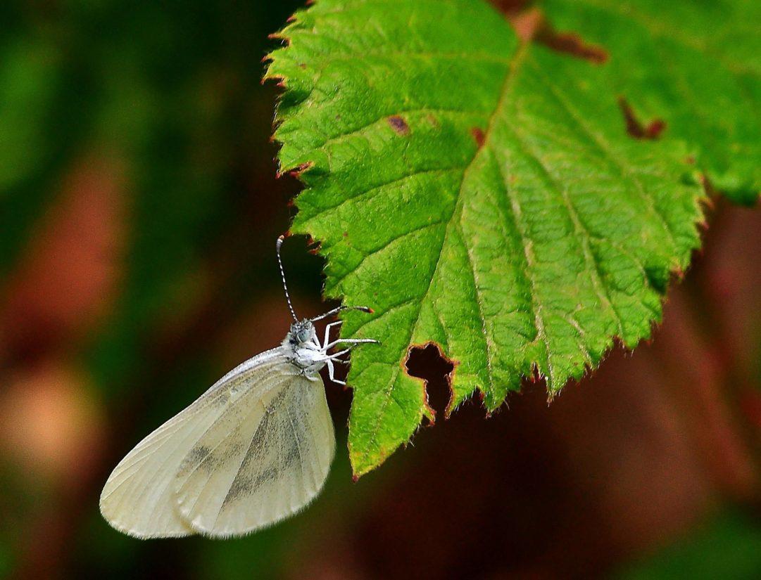 sommerfugl, insekt, natur, blad, sommer, dyreliv, plante, haven
