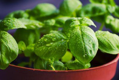 leaf, food, herb, flora, basil, vegetable, nature, spice, dew, rain
