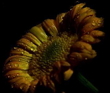 kukka, auringonkukka, luonto, flora, kaste, märkä, sadepisara, kasvi