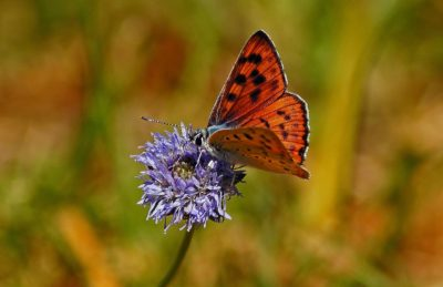 owad, natura, Motyl, makro, kwiat, zioło, ogród, nektar, roślina